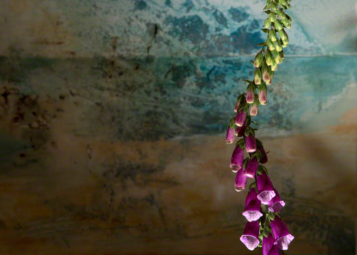 Foxgloves, digitalis purpurea, against a back ground of blue and ochre on canvas