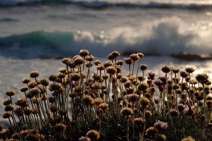 Sea thrift heads against a back ground of breaking wave