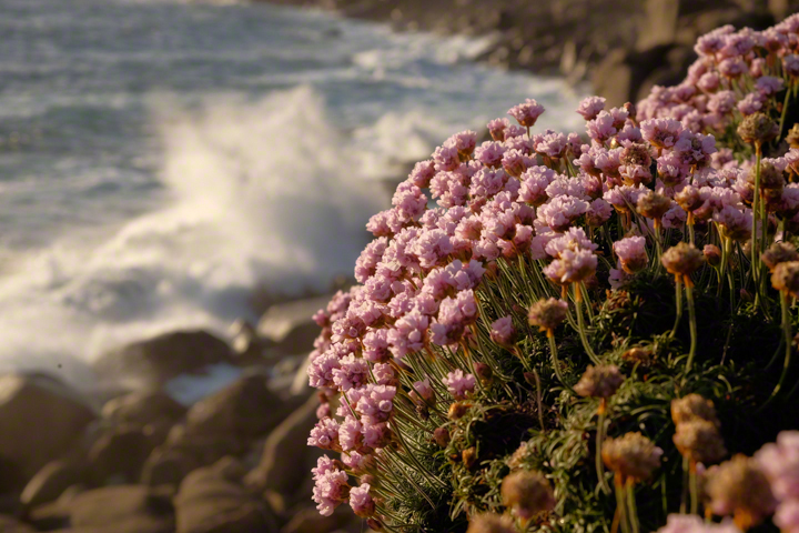 Evening light, pink flowers, beside background of breaking waves