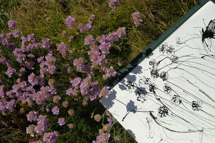 Sea thrift, shadows on sketch